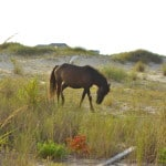 Wild Colonial Spanish Mustangs - OBX - Corolla Beach - Outer Banks NC - craftycookingmama.com